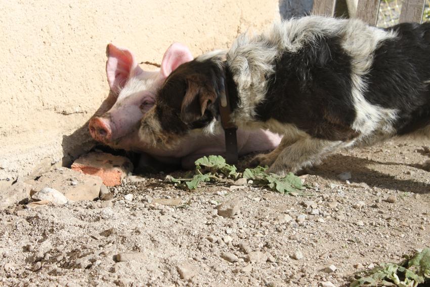 Bacon, jour 1, arrivée du petit cochon